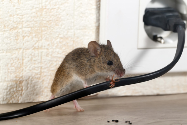 House Mouse - Keep rodents out