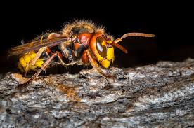 Bees, Wasps & Hornets